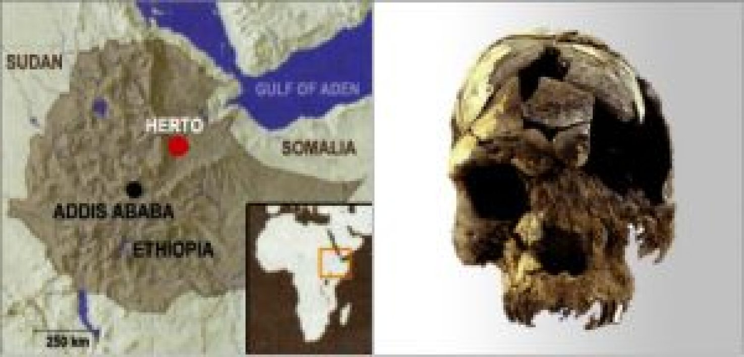 Discovery of early homo sapien skulls in Herto, Ethiopia