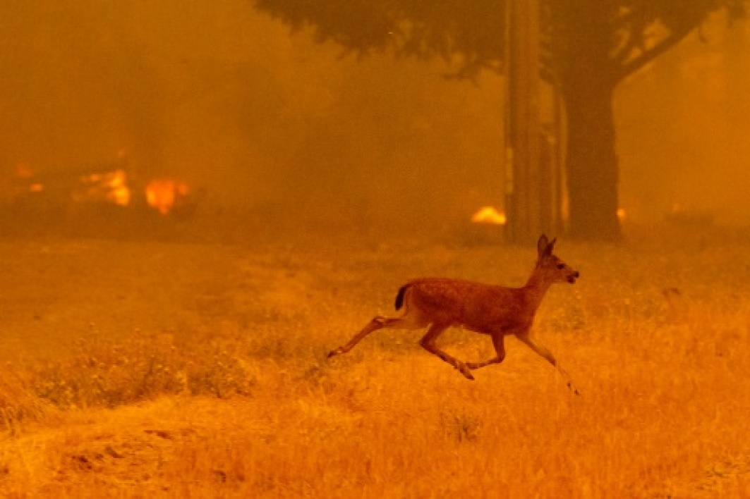 Un renne fuit les flammes du Ranch Fire qui ravage les abords de la route de New Long Valley, près de Clearlake Oaks, en Californie, le 6 août 2018.