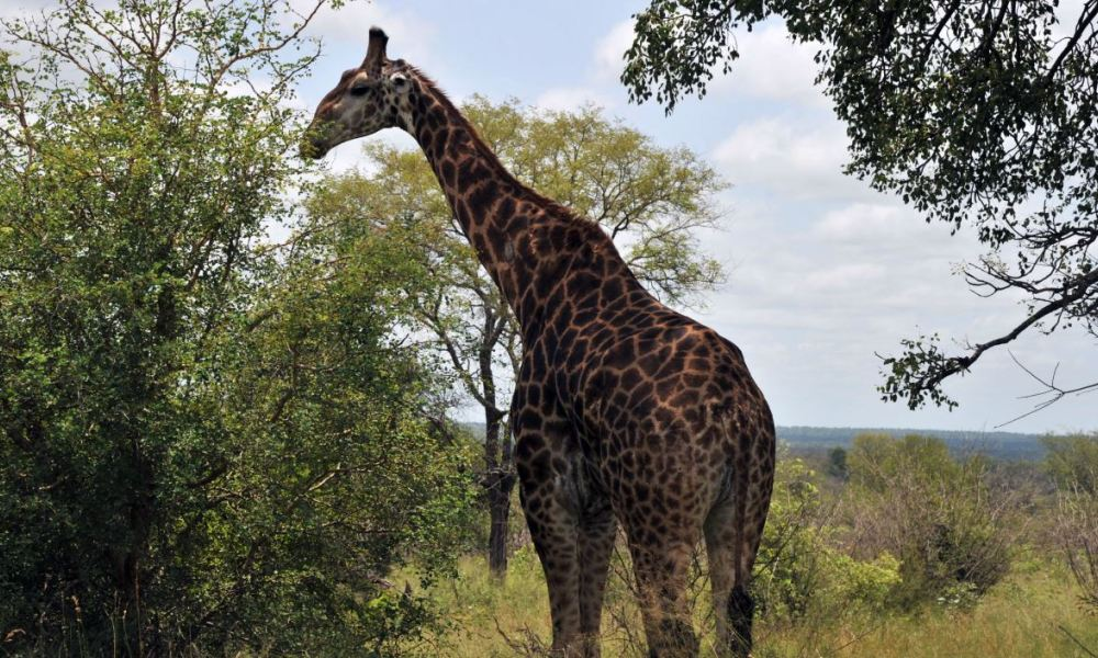 Photo taken on February 6, 2013 shows a giraffe in the Kruger National Park near Nelspruit, South Africa. AFP PHOTO / ISSOUF SANOGO ISSOUF SANOGO / AFP