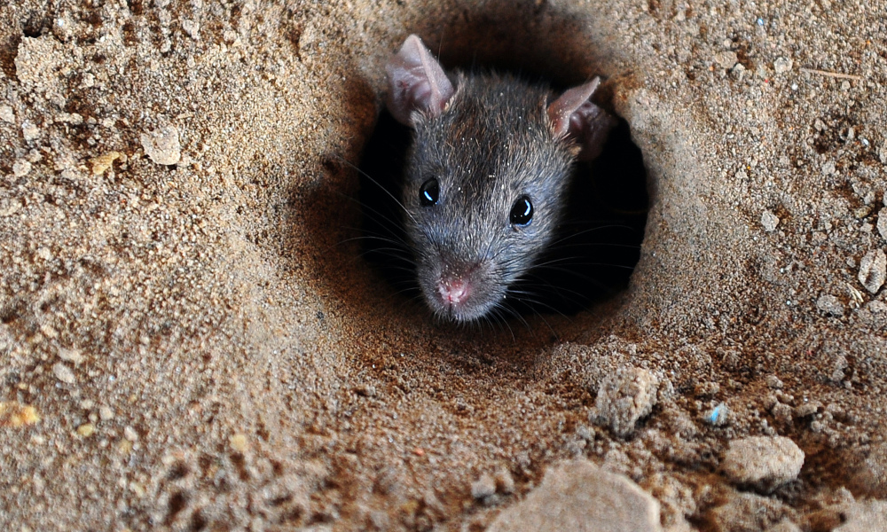 A rat looks out of a hole in the ground in Allahabad on July 28, 2015. AFP PHOTO/ SANJAY KANOJIA  Sanjay Kanojia / AFP