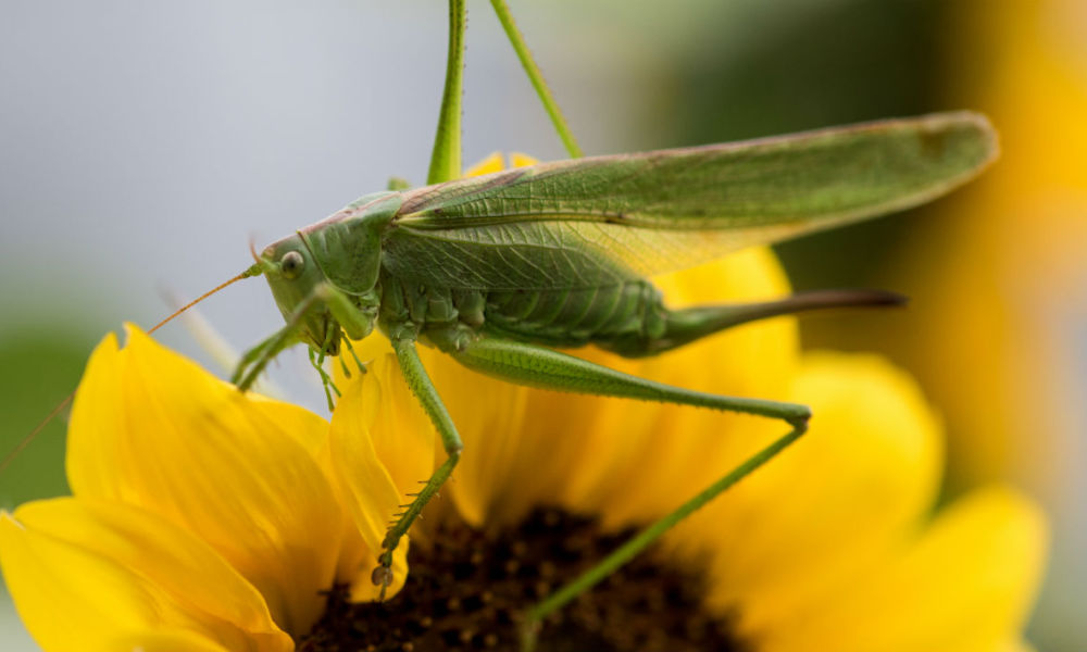 A grasshopper sits on a sunflower in Freiburg, southwestern Germany, on July 20, 2017.  Patrick Seeger / dpa / AFP