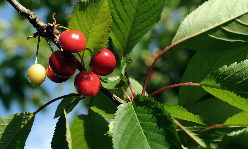 La France va bloquer l'importation de cerises traitées au diméthoate (Photo d'illustration)