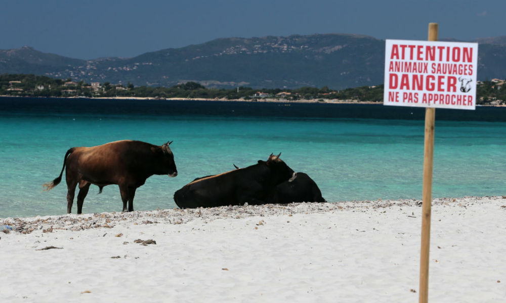 "A sign reads ""Attention, wild animals, danger, stay away"" near cows on the Mare e Sol beach in Coti-Chiavari, on the French Mediterranean island of Corsica, on May 17, 2017. A herd of some thirty wild cattle take up their summer residence on stretch of beach each year. PASCAL POCHARD-CASABIANCA / AFP"