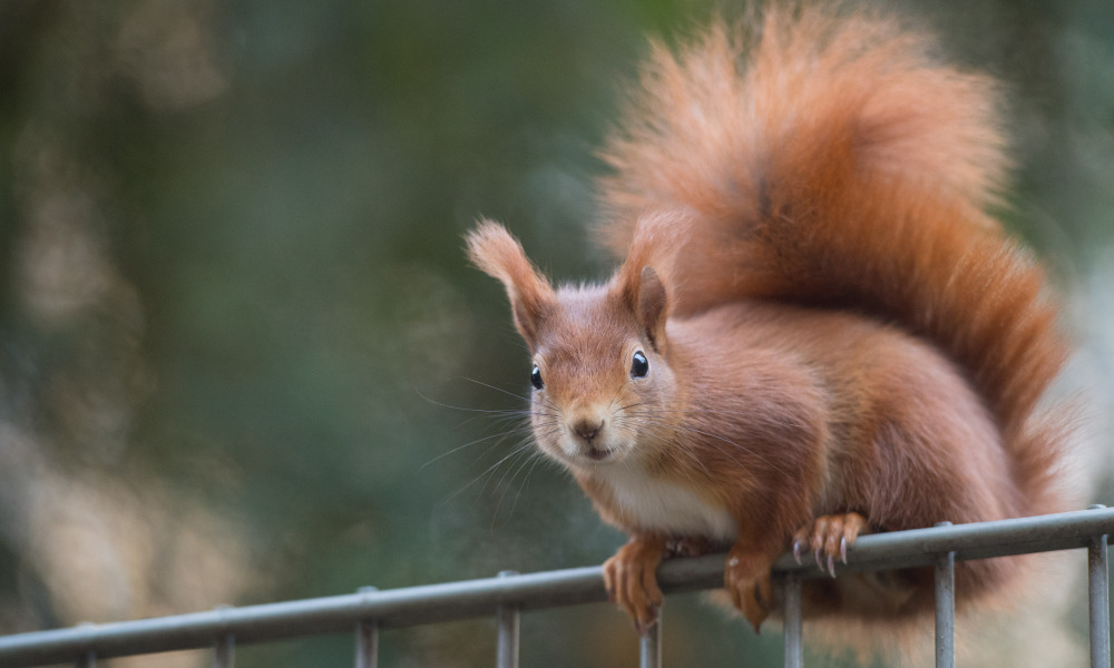 A squirrel sits on a fence on December 5, 2016 in Stuttgart, southern Germany.  Marijan Murat / dpa / AFP