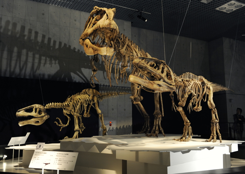 "The skeleton of a Megaraptor (L), and a Mapusaurus (parent-C, and child-R) are displayed at the exhibition of ""Dinosaurs of Gondwana"" at the National Science Museum in Tokyo on March 13, 2009. The three-month-long exhibition will open on March 14. The Cretaceous dinosaurs, Megaraptor and Mapusaurus were discovered in Argentina. AFP PHOTO/Kazuhiro NOGI KAZUHIRO NOGI / AFP"