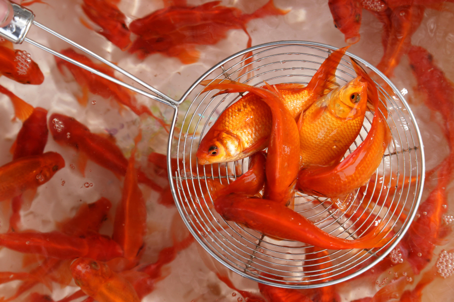 A street vendor shows goldfish in Arbil's bazaar during the annual celebrations of Noruz, the Persian New Year, on March 19, 2017, in the capital of the Kurdish autonomous region in northern Iraq.  SAFIN HAMED / AFP
