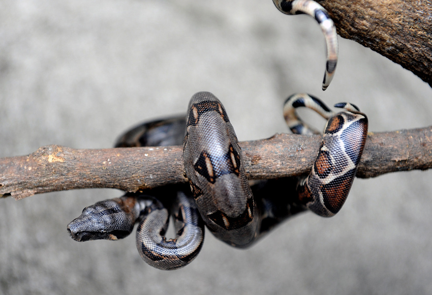 One of thirty-one boa constrictor offsprings coils up in a branch, three days after birth on June 4, 2008 at the National Biodiversity Institute (INBIO) park in Santo Domingo de Heredia, some 30 km north of San Jose. According to INBIO biologists, this are the first boas to be born in captivity inside their complex. AFP PHOTO/Yuri Cortez MORE AVAILABLE IN IMAGE FORUM