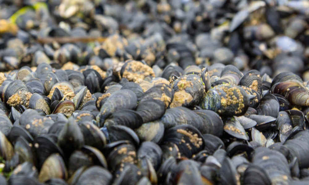 Des moules (illustration).
