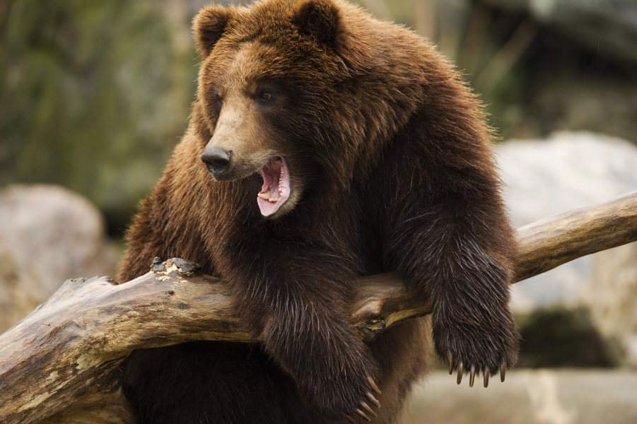 A brown bear is pictured on December 21, 2011 at the Bronx Zoo in New York. AFP PHOTO/DON EMMERT DON EMMERT / AFP