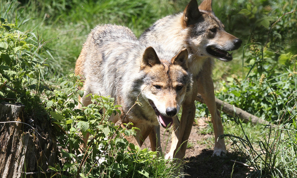 Des loups (Photo d'illustration).