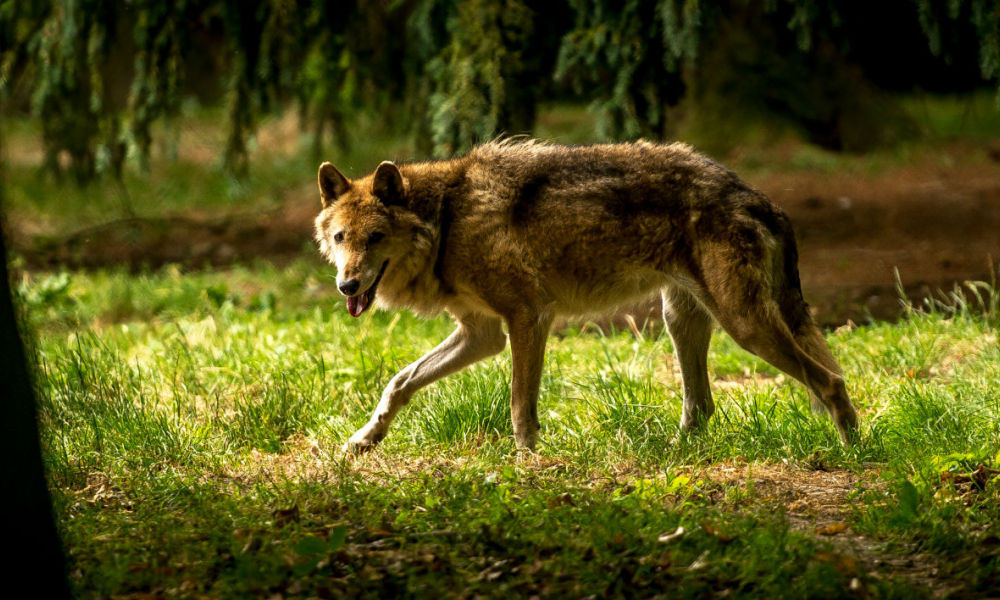 A wolf walks in the forest of the Bourbansais zoo in Pleugueneuc, northwestern France, on July 15, 2015. AFP PHOTO / PHILIPPE HUGUEN PHILIPPE HUGUEN / AFP
