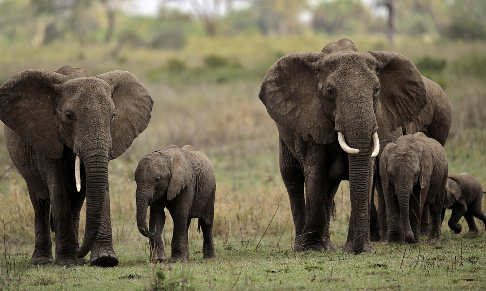 Des éléphants dans le parc national du Serengeti, en Tanzanie, en octobre 2010. (photo d'illustration)