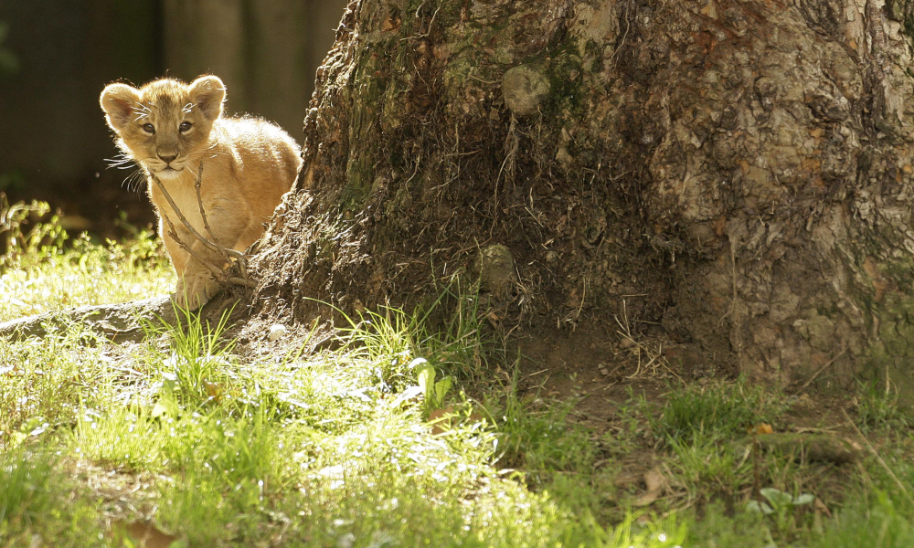 A 10 week-old Asian Lion cub is pictured at London Zoo, on August 13, 2009. Two cubs, a male and a female, were born to Abi, a 10 year-old lioness, and Lucifer, a six year-old male. According to London Zoo, there are less than 300 Asian lions in the wild and they are classified as critically endangered by the IUCN International Union for Conservation of Nature. AFP PHOTO/SHAUN CURRY SHAUN CURRY / AFP