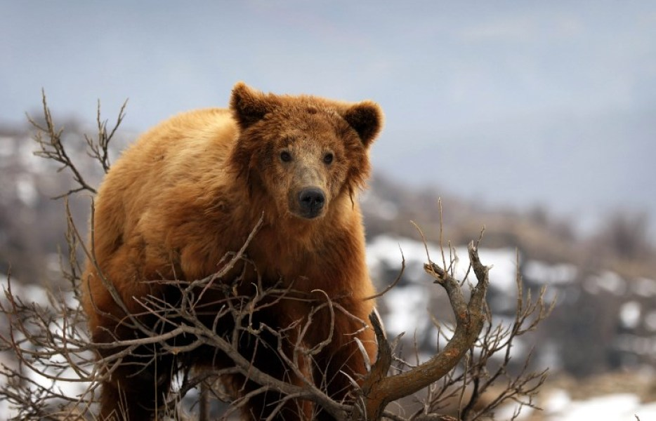 A bear that was rescued from a private home by Iraqi Kurdish Animal rights activists is released into the wild by a local NGO in the Gara Mountains near the northern Iraqi city of Dohuk on March 4, 2018.  SAFIN HAMED / AFP
