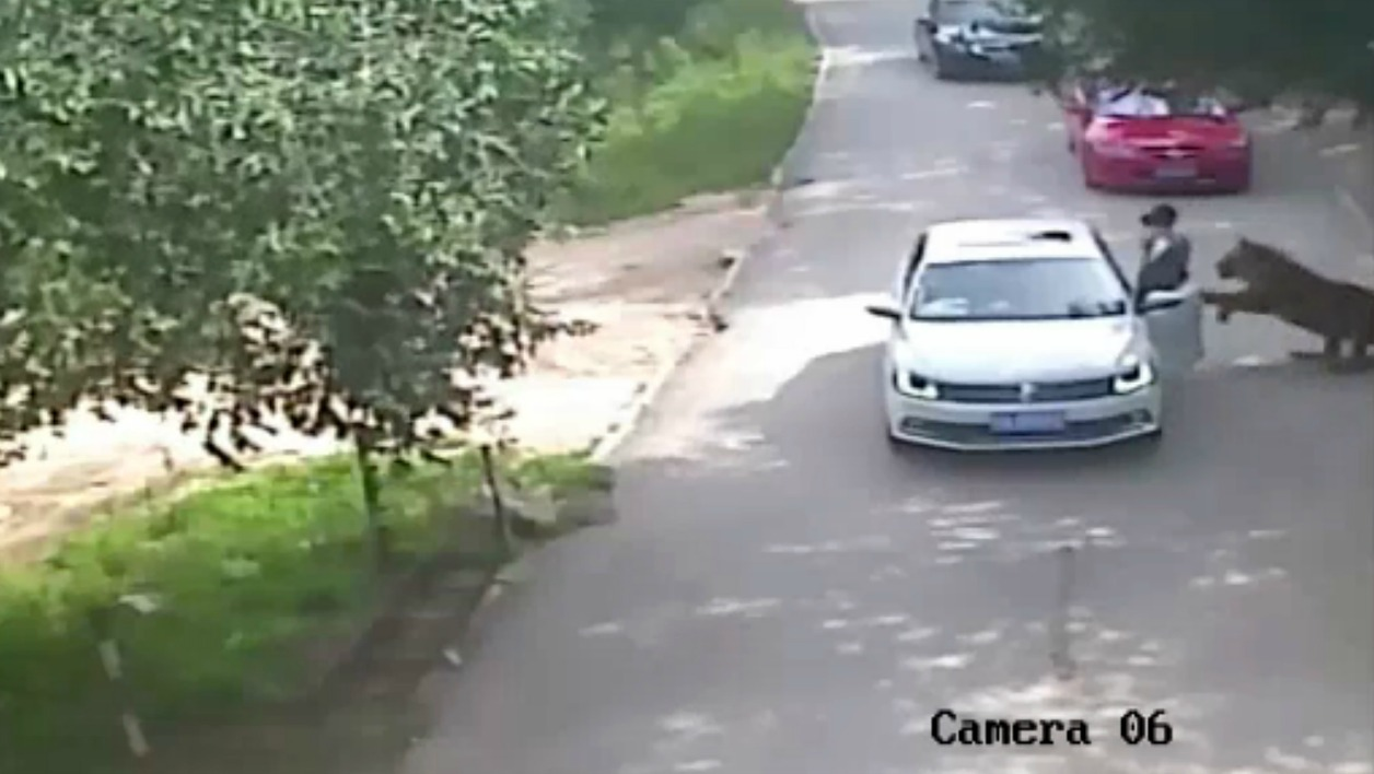 This video frame grab received from China's state broadcaster CCTV on July 25, 2016 shows a tiger (far R) attacking a passenger after she stepped out a car at Beijing