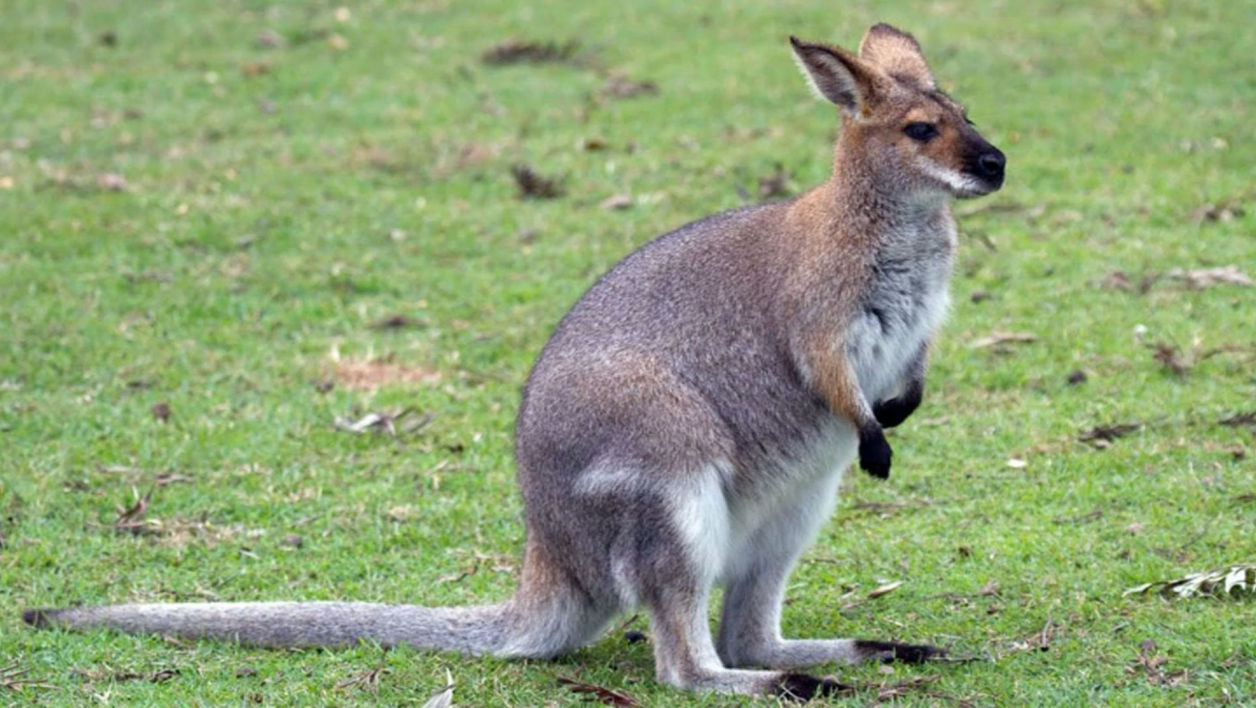 Image result for le wallaby