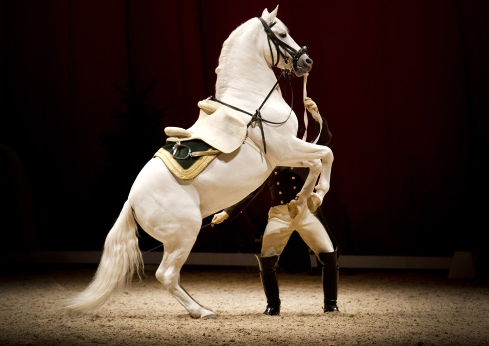 Un cheval lors du spectacle de la Spanish Riding School à Amsterdam, le 29 novembre 2014.