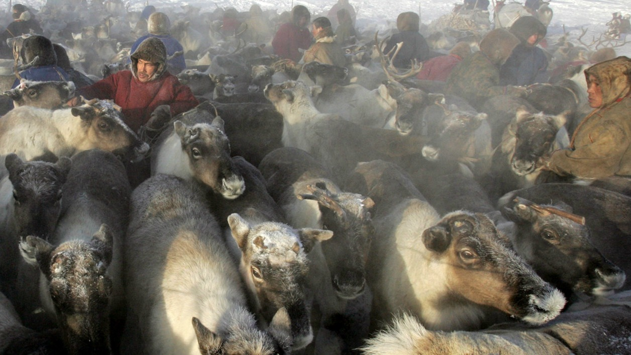 Nenets herdsmans herd their reindeers as they prepare to leave a site outside the town of Nadym, 3800 km North-East of Moscow in Siberia to find a new place for stay, 14 March 2005. The Nenets people live in snow and freezing temperatures some 260 days of the year and are mainly reindeer herdsmen. TATYANA MAKEYEVA / AFP