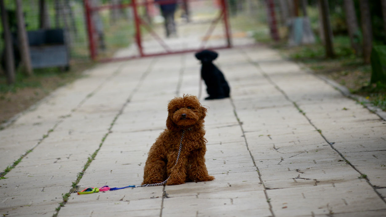 This picture taken on June 11, 2015 shows dogs at a dog training school in Beijing. Pet ownership has grown rapidly in China over the past decade, with almost 30 million households now owning a dog, according to research group Euromonitor.