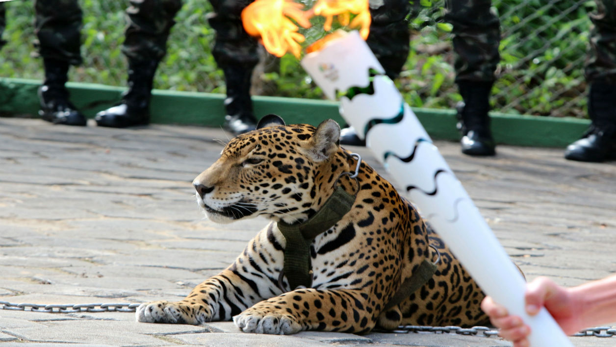 The Olympic Torch, hold by an athlete, is seen by a jaguar --symbol of Amazonia-- during a ceremony in Manaus, northern Brazil, on June 20, 2016. The jaguar, who was named Juma and lived in the local zoo, had to be shot dead by soldiers shortly after the ceremony when he escaped and attacked a veterinarian despite having been hit four times with tranquilizing darts.