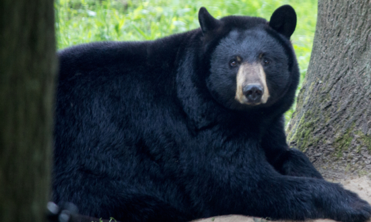Un ours noir du parc animalier de Thoiry (photo d'illustration)