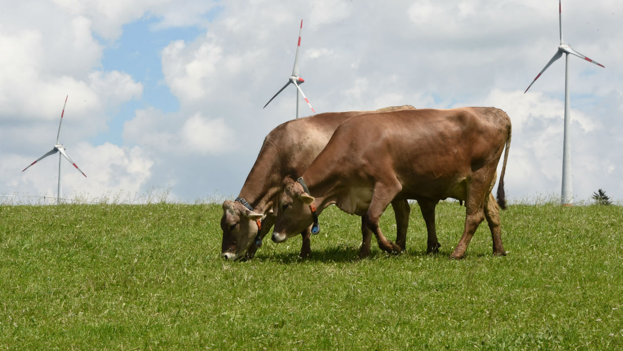 Vaches marron