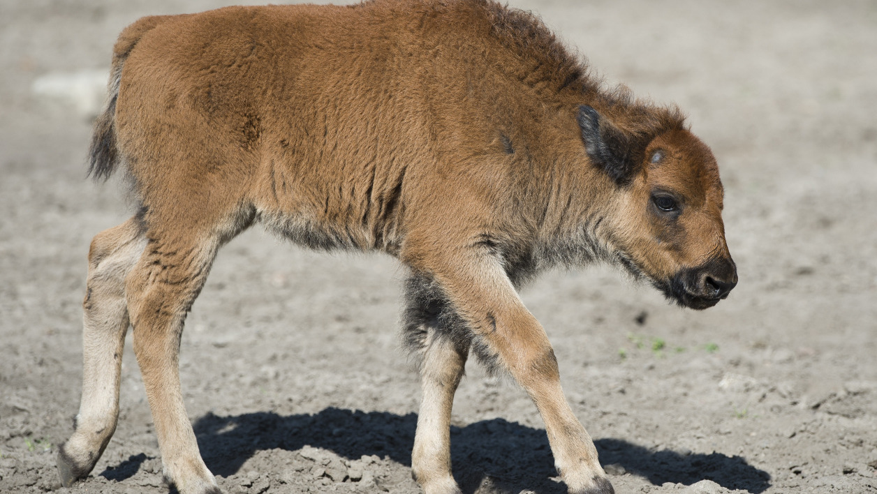 Un bébé bison dans un zoo de Berlin, en 2012 (image d'illustration).