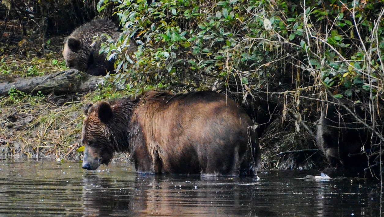 Des Grizzli au Canada (Photo d'illustration).