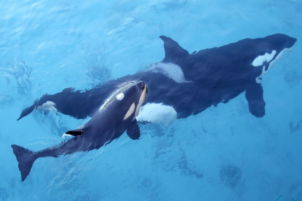 An orca swims with its calf at the Marineland animal exhibition park in the French Riviera city of Antibes, southeastern France, on December 12, 2013. AFP PHOTO / VALERY HACHE VALERY HACHE / AFP