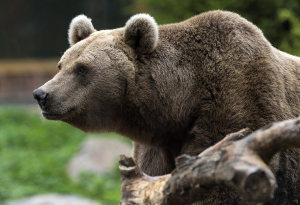 Un ours brun dans son enclos, au parc zoologique d'Amneville, le 12 octobre 2017 (Photo d'illustration)