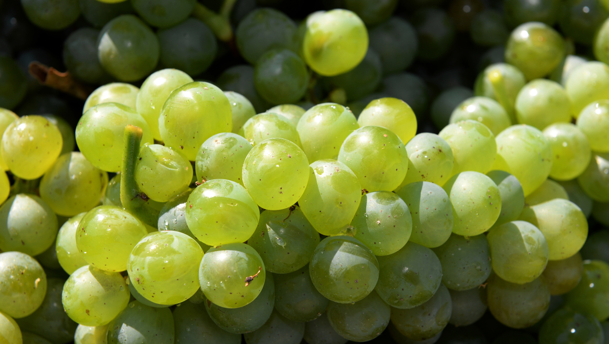"White grapes are pictured on September 15, 2014 at ""La Louviere"" vineyards in Leognan, southwestern France. AFP PHOTO JEAN PIERRE MULLER JEAN PIERRE MULLER / AFP"