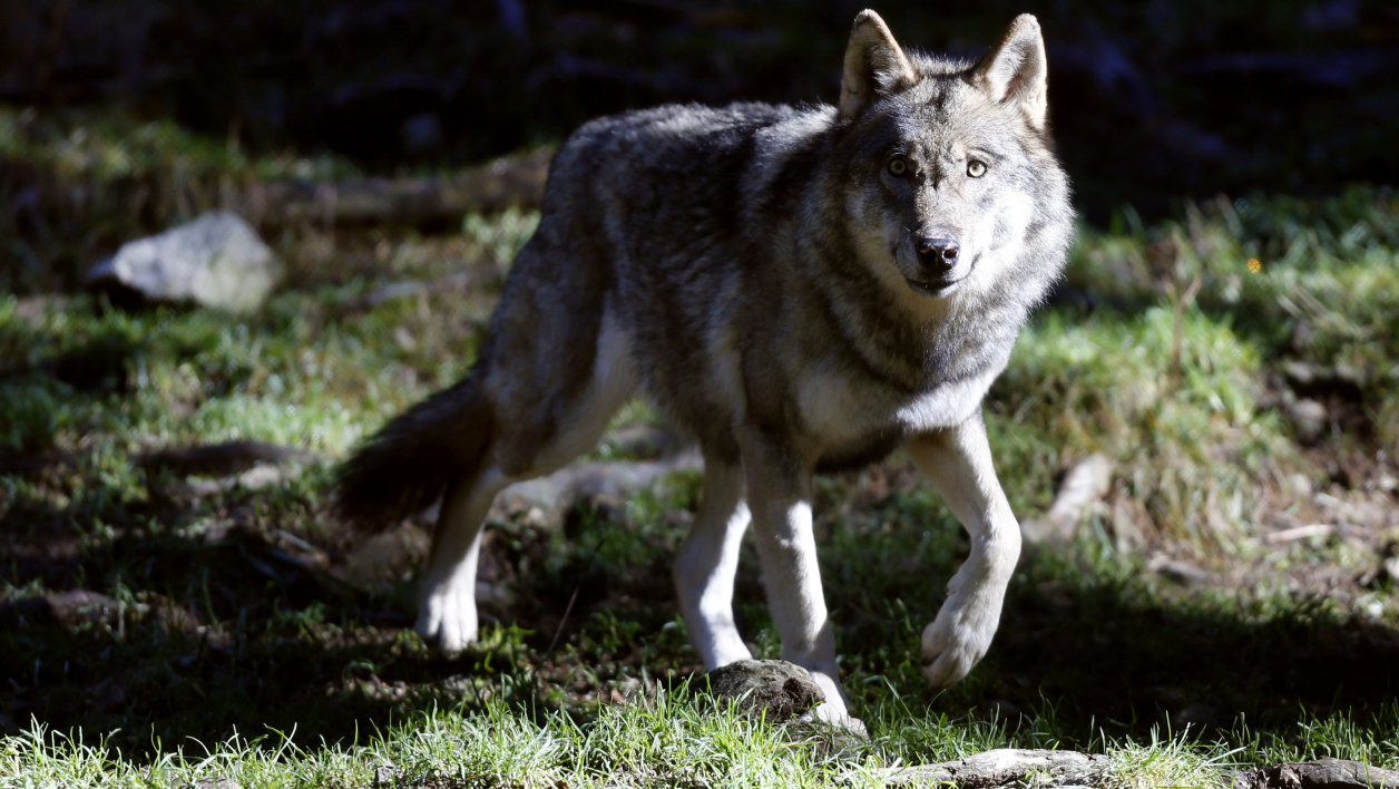 A wolf is pictured on November 13, 2012 at the Mercantour Park in Saint-Martin-Vesubie, southeastern France. AFP PHOTO / VALERY HACHE VALERY HACHE / AFP