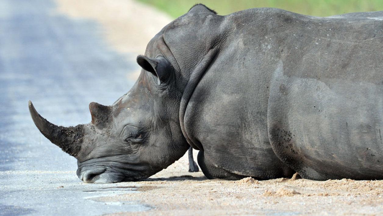SOUTH AFRICA, Nelspruit : Photo taken on February 6, 2013 shows a rhinoceros resting in the Kruger National Park near Nelspruit, South Africa. AFP PHOTO / ISSOUF SANOGO
