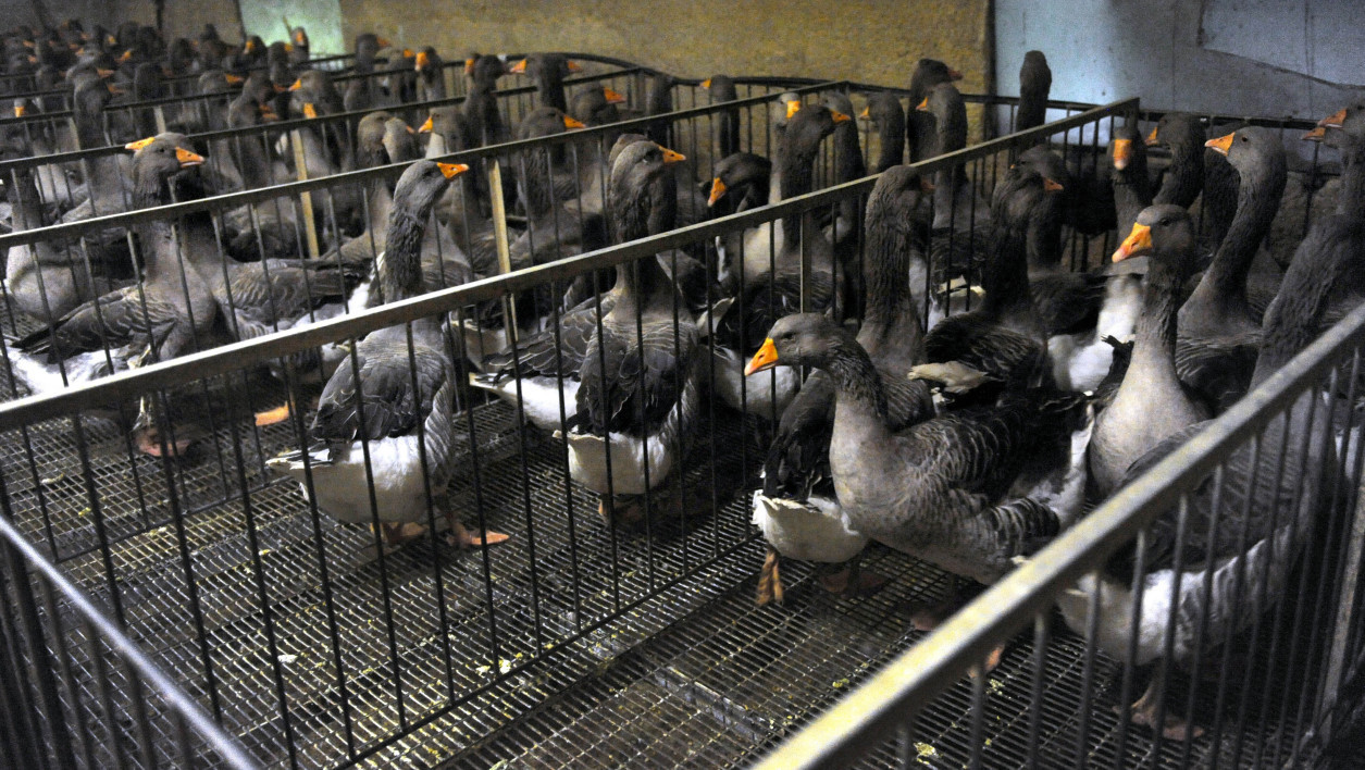 Faut-il interdire la production de foie gras en France?