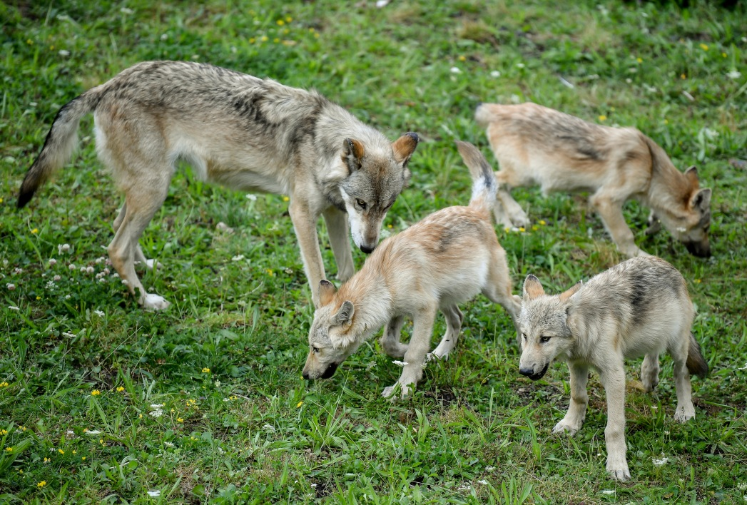Des loups (photo d'illustration)
