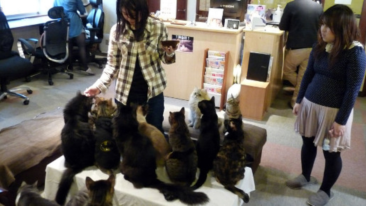 "Un ""neko café"" (bar à chat) au Japon."