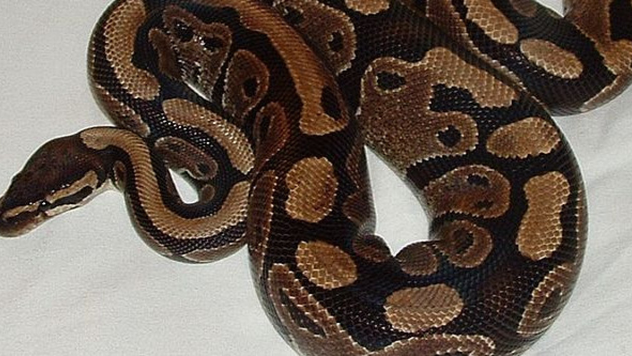 Un python royal. (photo d'illustration)