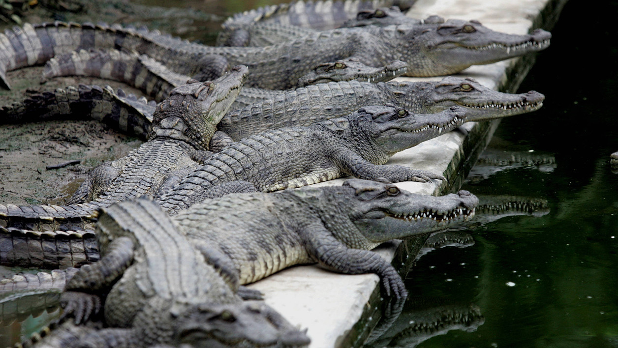 Crocodiles lie at a farm-restaurant in the outskirts of Northern city of Hai Phong, 24 August 2005. In Vietnamese big cities some restaurants tend to serve their customers with exotic dishes prepared from meat of crocodiles, camels, snakes and ostriches. AFP PHOTO/HOANG DINH Nam HOANG DINH NAM / AFP