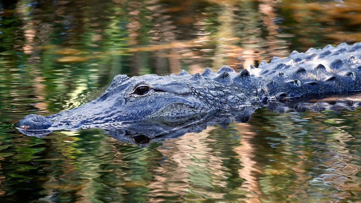 Un alligator à Delray Beach en Floride le 21 avril 2016. (Photo d'illustration)