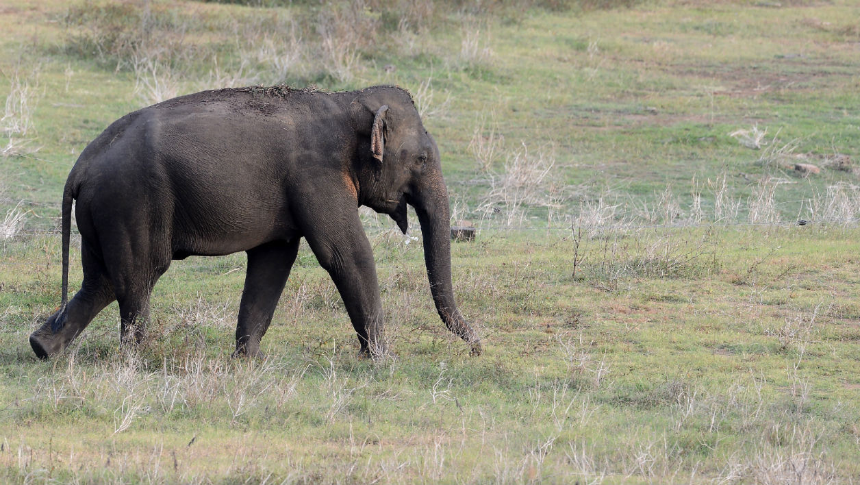 A wild elephant grazes near the boundary of a wildlife sanctuary in Udawalawe National Park on July 7, 2017. Udawalawe National Park is 165 kilometres (103 mi) from Colombo. Udawalawe is an important habitat for water birds and Sri Lankan elephants.  LAKRUWAN WANNIARACHCHI / AFP