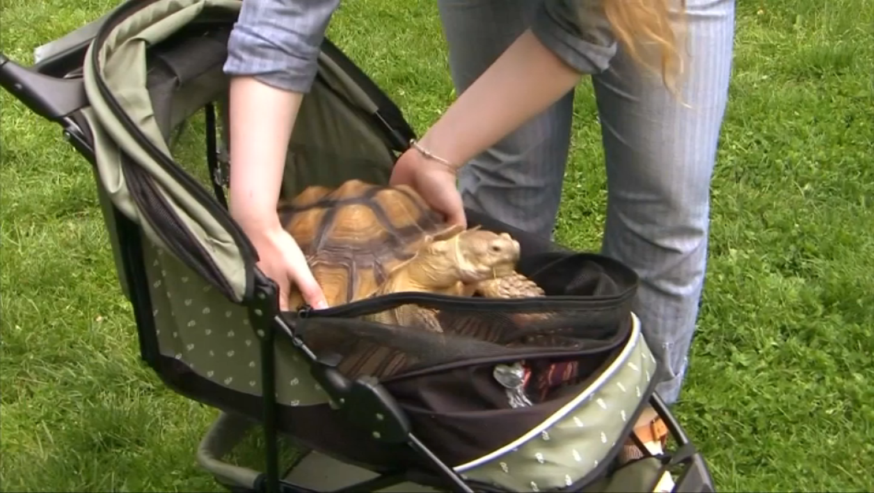 La tortue Henry a une baby sitter.