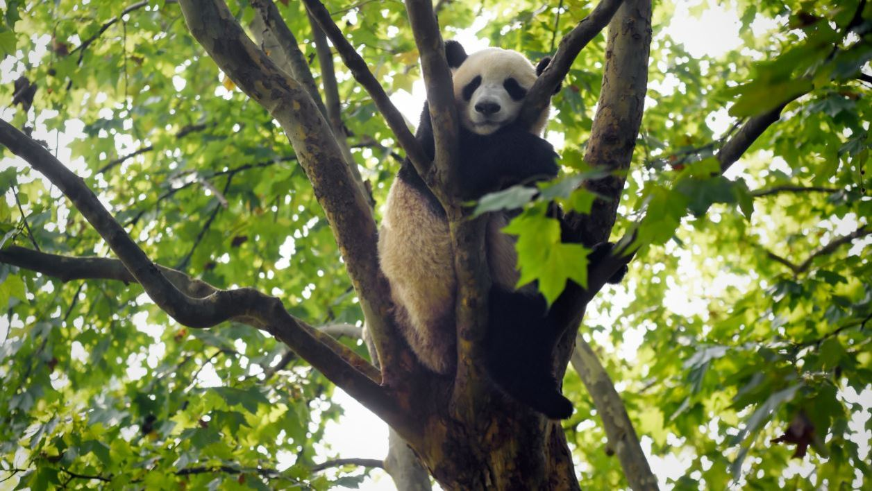 This picture taken on September 9, 2016 shows a panda sleeping on the tree at the Chengdu Research Base of Giant Panda Breeding in China's Sichuan province.