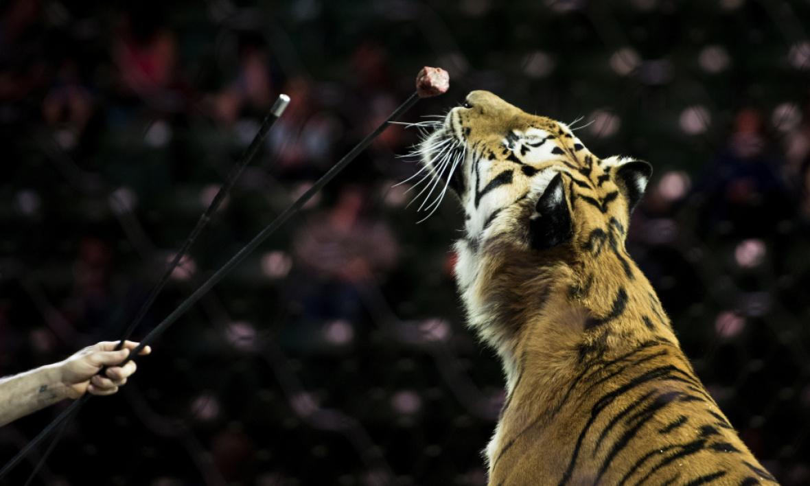 Un tigre entraîné avant une représentation du cirque Ringling Bros. and Barnum & Bailey Circus, le 14 avril 2017 à Fairfax aux Etats-Unis. (Photo d'illustration) - Brendan Smialowski - AFP