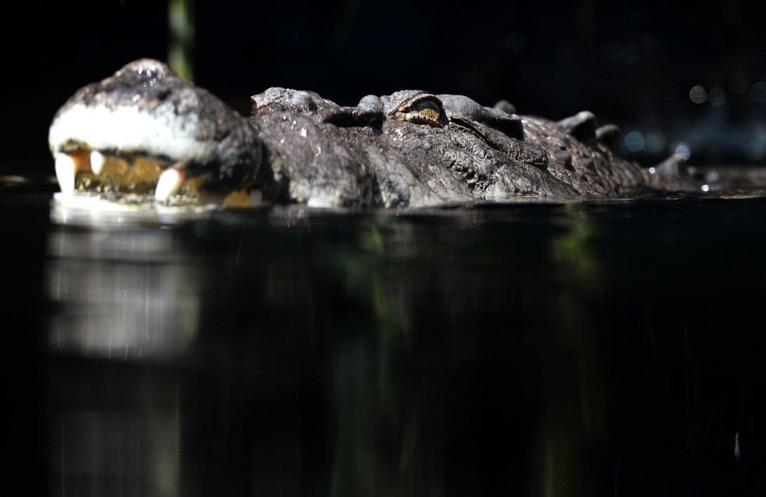Un crocodile de 700 kilos en captivité au zoo de Sydney, le 3 octobre 2012 (photo d'illustration)