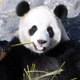 La population de pandas sauvage augmente en Chine (illustration)