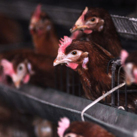Grippe aviaire: 146.000 volailles abattues au Canada
