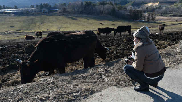 """A participant of """"dark tourism"""" looks at cows which survive eating contaminated grass at a ranch in Namie, Fukushima Prefecture after the accident of Fukushima nuclear plant on February 11, 2016. As the fifth anniversary of the disaster approaches, a growing number of visitors are joining Fukushima-related tours. AFP PHOTO / Toru YAMANAKA TORU YAMANAKA / AFP"""