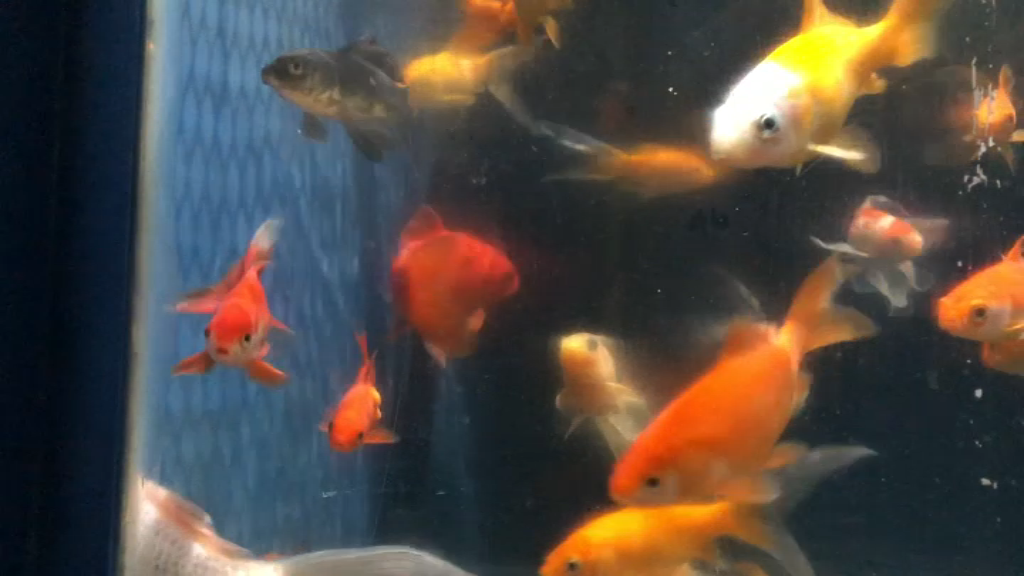 Un refuge à poissons rouges à l'Aquarium de Paris